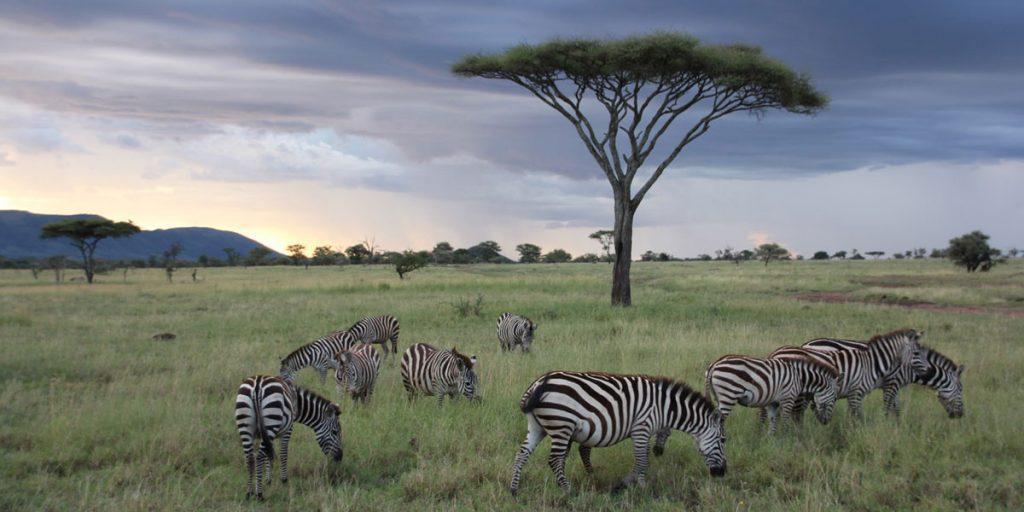 Burchell's zebras and acacia 'umbrella' tree, Serengeti, Tanzania, Africa
