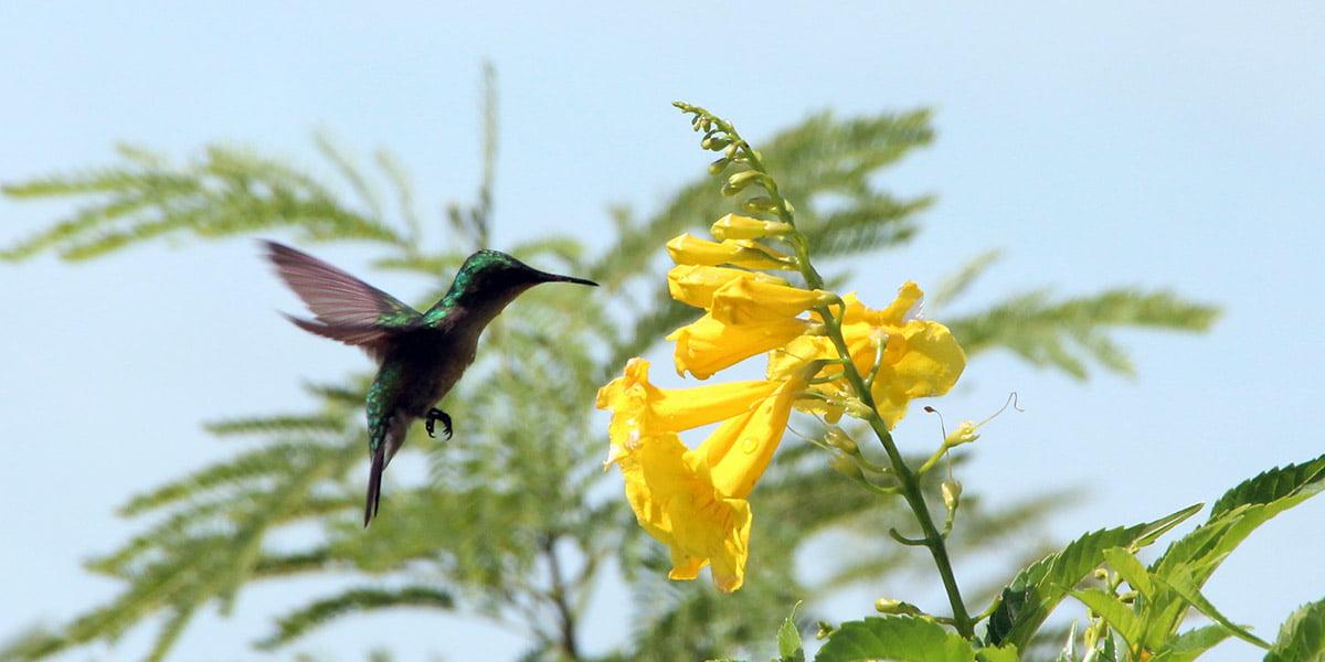 High shutter speed photograph of hummingbird in flight, Antigua